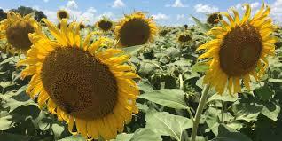Pumpkin Patch Alabama Clanton by Stunning Sunflower Field A Bright Spot In Autauga