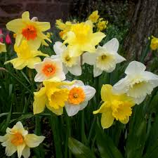 buy daffodil narcissus mix color bulbs at nursery live
