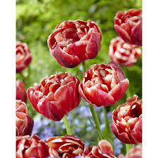 shop garden state bulb 15 pack cabella tulip bulbs l28972 at