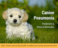 Canine Pneumonia Symptoms Causes and Natural Reme s