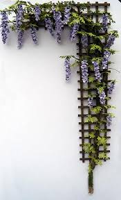 planting wisteria in a pot grow wisteria in a pot the easy tutorial