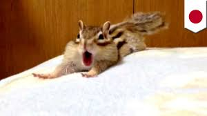 Cute chipmunk Adorable creature stretches on bed in funny video