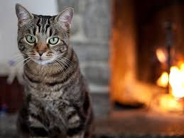 adopt a cat cat adoption petfinder