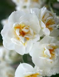 bridal crown daffodil 82128