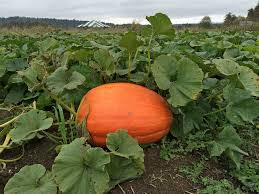 Wisconsin Pumpkin Patches 2015 by First Light Farm Pumpkin Patch In Carnation Seattle Bloggers