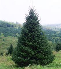 Fraser Fir Christmas Trees Nc by Wholesale Christmas Trees At Shore U0027s Nursery In Western North Carolina