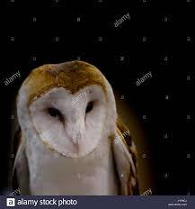 Barn Owl Owl Bird Of Prey Raptor Stock Photos & Barn Owl Owl Bird ... Barn Owl Tyto Alba Onyx On The Left Is A British Male Flickr Fimale 3 6942373687jpg Wikimedia Commons Ruffled Feathers November 2014 Mysterious Wise Barn Owl In Shadows Nocturnal Hunter World Bird Sanctuary January 2013 Owls Ghosts And Noises Night The Trust Lone Pine Koala Owlline Owllinelovers Twitter Audubon Field Guide A Brief Introduction To Common Types Of Barney California Raptor Center Connecticuts Beardsley Zoo