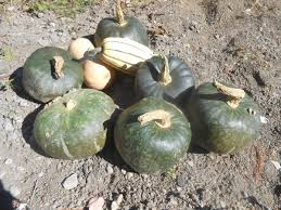 Seymour Pumpkin Festival Parking by Care And Feeding Of Winter Squash And Other Veggies By Tom