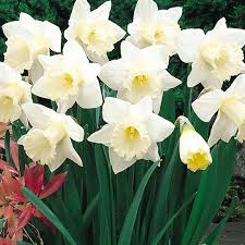25kg mount daffodil bulbs buy at best sale prices