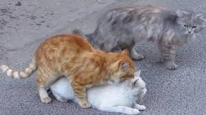 cats mating cats mating on the