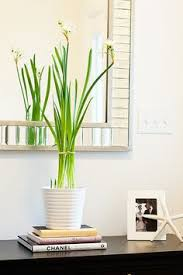 how to grow gladiolus bulbs indoors gladiolus bulbs gladioli