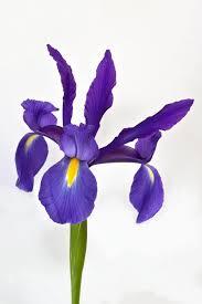 iris blue dutchgrown