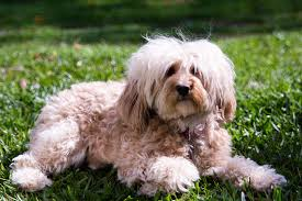 do cavapoos shed a lot cavapoo