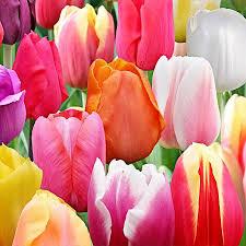 100 landscape mixture tulip bulbs tulipa triumph