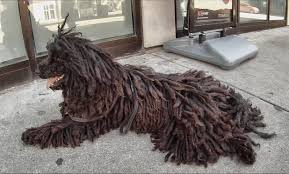 Dogs That Shed Minimally by Puli Dreadlock Dog Dreadlocks Pinterest Dreadlock Dog And Dog
