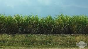 Sugar Cane Field In Cuba