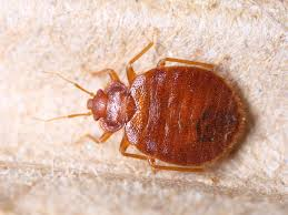 Bed bugs in Vancouver WA what to look for Ask Mr Little