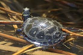 6 turtle excessive shell shedding electomind an electrical