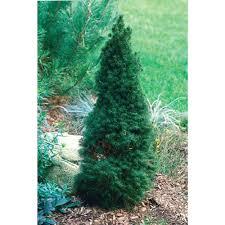 Christmas Tree Storage Bin Home Depot by Alberta Spruce 5galbspru The Home Depot