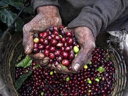 Cuban Coffees Are Classified As Crystal Mountain Extraturquino Turquino Altura Montana Cumbre Serrano Superior Corriente And Caracolillo