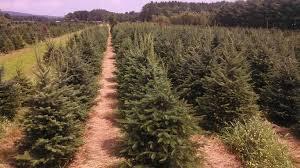 Christmas Tree Seedlings by Nursery Trees To Please Llc Premium Quality Christmas Trees