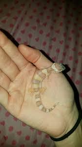Crested Gecko Halloween Morph For Sale Uk by 739 Best Leopardgeckos Images On Pinterest Leopard Geckos