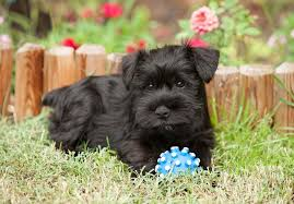 Do Giant Schnauzer Dogs Shed Hair by Miniature Schnauzer Puppies For Sale Akc Puppyfinder