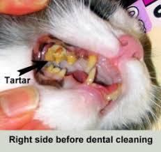 cat dental care dental problems in cats manhattan cat specialists articles