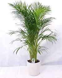 echte pflanze goldfruchtpalme 130 cm chrysalidocarpus
