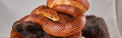 Corn Snake Shedding Time by A Modern Corn Snake Marketplace Morphmarket Usa
