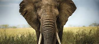 Elephants Canvas Art Prints ICanvas