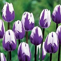 where to buy tulip bulbs fiori idea immagine