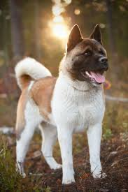 Guard Dogs That Dont Shed by 47 Best Akita Images On Pinterest Akita Dog American Akita And