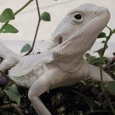 681 best reptiles images on pinterest lizards reptiles and