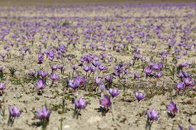 10 tips for growing saffron thisnzlife
