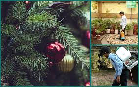 Christmas Tree Has Aphids by Common Christmas Tree Bugs And How To Get Rid Of Them Blogelicious