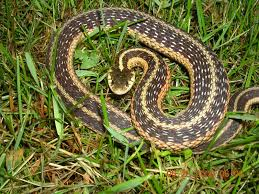 Eastern Garter Snake | Project Noah | New York Wildlife ... Backyard Snakes Effective Wildlife Solutions Snakes And Beyond 65 Best Know Them Images On Pinterest Georgia Of Louisiana Department Fisheries Southern Hognose Snake Florida Texas Archives What Is That 46 The States Slithery Species Nolacom Scarlet Kingsnake Cottonmouth Eastern Living Alongside Idenfication Challenge The Garden Or Garter My Species List New Engdatlantic