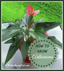 flamingo flower anthurium tropical delight great indoor plant