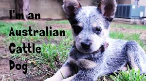 Rocket The Australian Cattle Dog - YouTube Backyards Excellent 9 Burkes Backyard Pets Amazing Pet Rare Woolly Dog Hair Found In Northwest Blanket Q13 Fox News Agility With Australian Cattle Youtube Welsh Springer Spaniel Wikipedia How To Stop Dogs From Pooping On Your Front Lawn Dog Do It Yourself Diy Set Hurdles Jumps Gardener And Tv Personality Don Burke 3 Masters Sequences Annotated Bordoodle Pinterest Breeds Pechinez Awesome 25 Best Ideas About Outdoor Kennels On