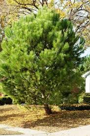 There Are Basically Three Choices For Christmas Trees 1 Artificial 2 Cut And 3 Living Planting Outdoors After The Holidays
