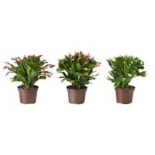 Potted Christmas Tree by Schlumbergera Potted Plant Christmas Cactus 12 Cm Ikea