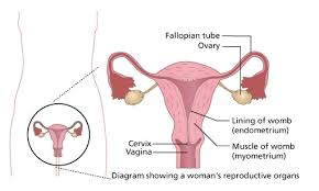 shedding uterine lining before period the menstrual cycle