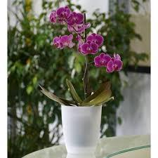 orchidée mauve cache pot transparent vente orchidée mauve