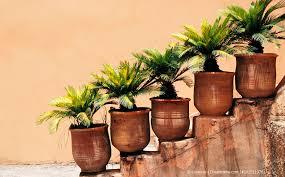 palmen tipps zu standort und pflege sowie gießen düngen