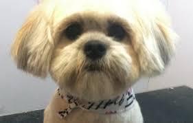 My Lhasa Apso Is Shedding Hair by How Should I Get My Shih Tzu Dog U0027s Hair Cut
