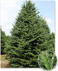Christmas Tree Species Usa by Real Christmas Trees Green Valley Christmas Trees