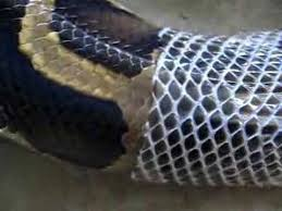 Shed Snake Skin Pictures by Python Shedding Closeup Youtube