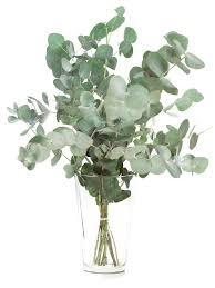 eukalyptus cinerea silber grün