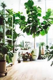 die 120 besten ideen zu große zimmerpflanzen