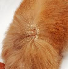 my cat has dandruff walking dandruff cheyletiella mite 2 safety